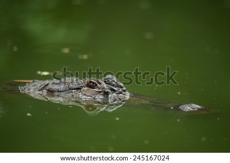 Head of a crocodile in the water - stock photo