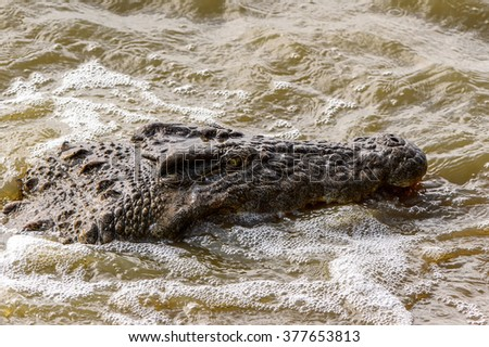Head of a crocodile swimming in the water