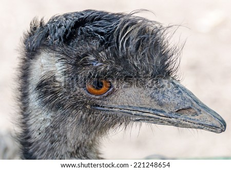 Head of a emu bird, orange eyes, close up