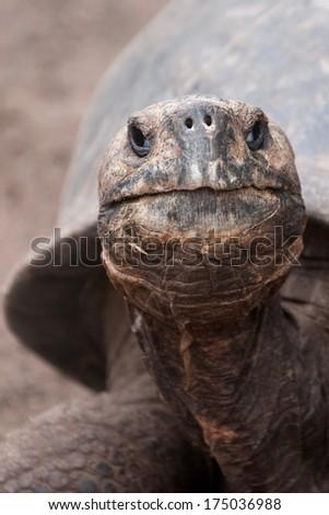 Head of a giant Galapagos tortoise, Santa Cruz, Galapagos islands, Ecuador - stock photo
