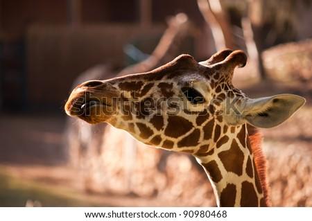 Head of a Giraffe . - stock photo