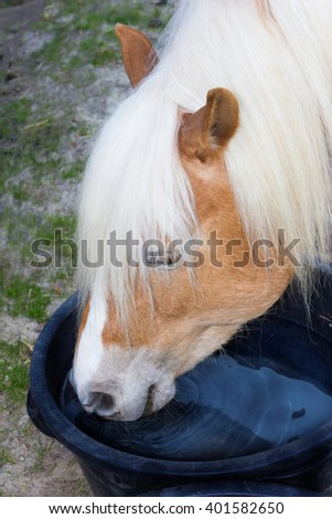 Head of a Haflinger horse is drinking water from a water trough.
