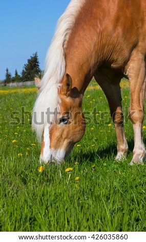 head of a Haflinger Horse on the meadow, enjoying the first grass in the springtime.