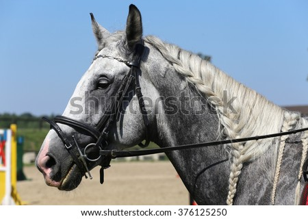 Head of a  jumping horse in dressage. Braided mane for dressage. Braiding provides an aesthetically appealing look for a jumping horse - stock photo