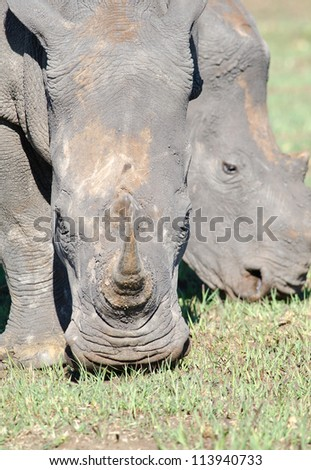 mud head mud covered rhinoceros stock images royalty free images vectors