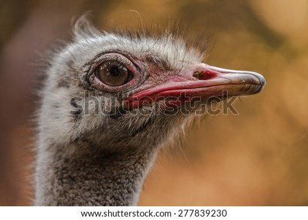 Head of a ostrich (Struthio camelus) - stock photo