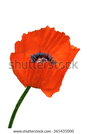 Head of a red poppy on a white background.
