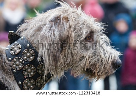 Head of a shaggy wolfhound in profile wearing a heavy ornate collar participating in a show or competition with blurred spectators in the background - stock photo
