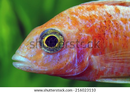 Head of African Malawi  Cichlid - stock photo