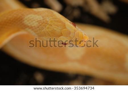 Head of an Amazon Tree Boa  - stock photo