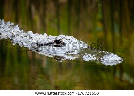 Head of an American Alligator (Alligator mississippiensis) drifting on the surface through reflections of green and yellow reeds - stock photo