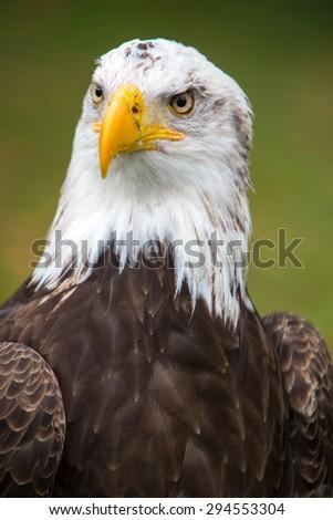 Head of an American Bald Eagle at an outdoor bird sanctuary near Otavalo, Ecuador - stock photo
