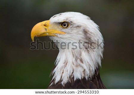Head of an American Bald Eagle at an outdoor bird sanctuary near Otavalo, Ecuador
