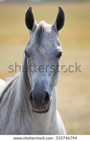 Head of arabian horse
