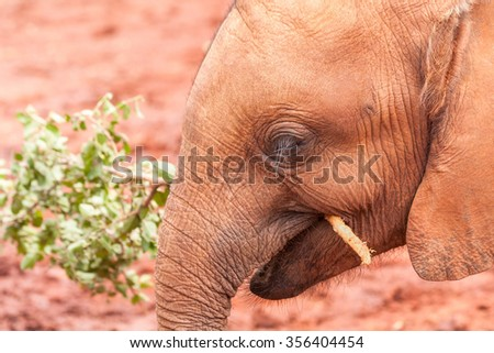 Head of baby elephant chewing branchclose-up  - stock photo