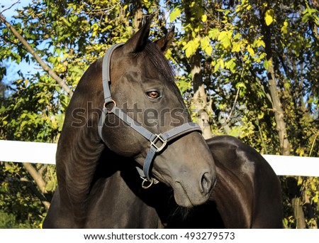 head of black horse is on a background of yellow and green autumn forest trees