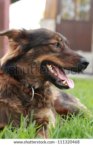 head of brown dog - stock photo