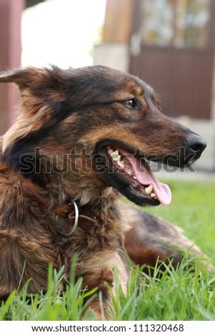 head of brown dog - stock photo