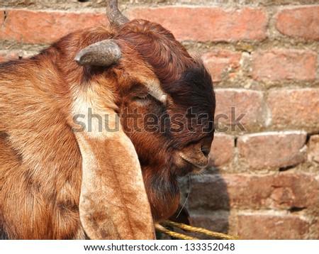 head of brown goat near the red brick wall in Kathmandu Nepal - stock photo