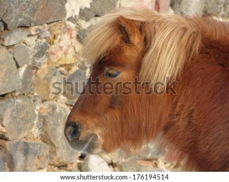 Head of brown pony - stock photo