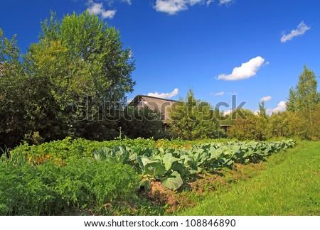 head of cabbage in vegetable garden - stock photo