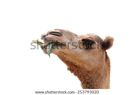 head of camel on white background. - stock photo