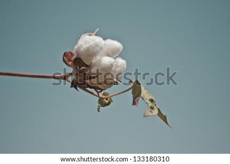 Head of cotton - stock photo