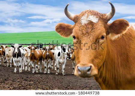 head of cow against beef cattle at farm - stock photo