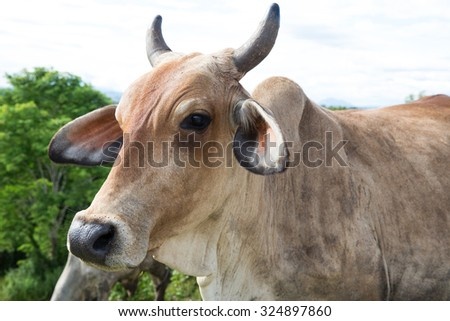 Head of cow against beef cattle in Thailand