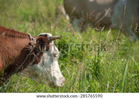 Head of cow in the field - stock photo