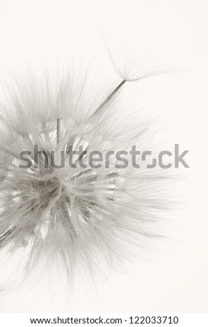 Head of dandelion close-up on light background. Sepia. - stock photo