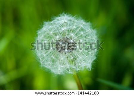 Head of dandelion seeds - stock photo