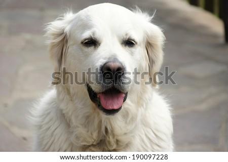 Head of dog (golden retriever) - stock photo