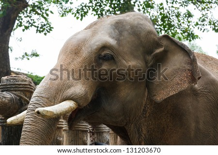 head of elephant with tusks at the zoo