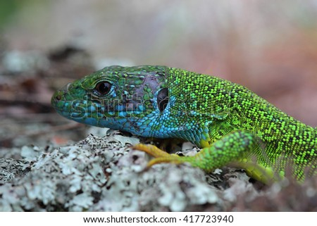 Head of european green lizard (Lacerta viridis). Closeup - stock photo