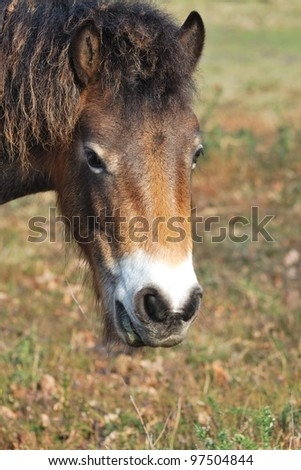 Head of Exmoor Pony