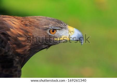 head of female golden eagle - stock photo