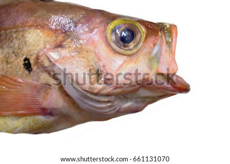 Head of fish and mouth is open this is red fish of japan