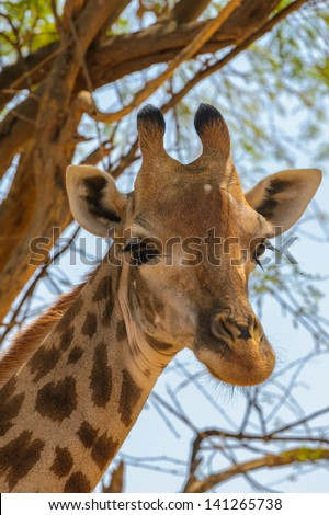 Head of giraffe in front of a tree - stock photo
