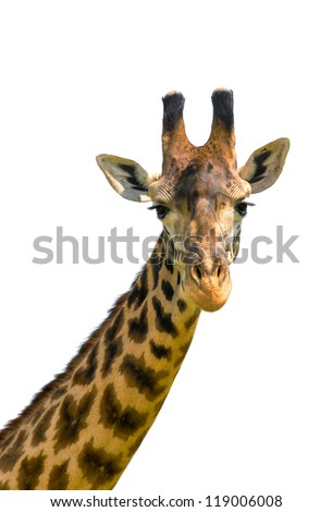 head of giraffe over white background - stock photo