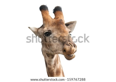 head of giraffe with tongue and funny humorous look on white background - stock photo