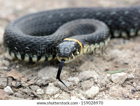 head of Grass snake with his tongue hanging out crawling on the ground, close up, selective focus - stock photo