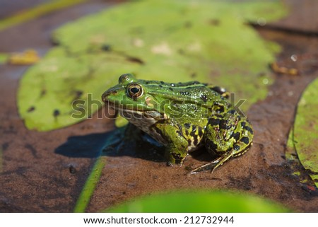 Head of green water frog (Rana lessonae), close up, selective focus on head - stock photo