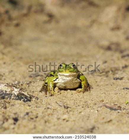 Head of green water frog (Rana lessonae) on the sand, close up, selective focus - stock photo