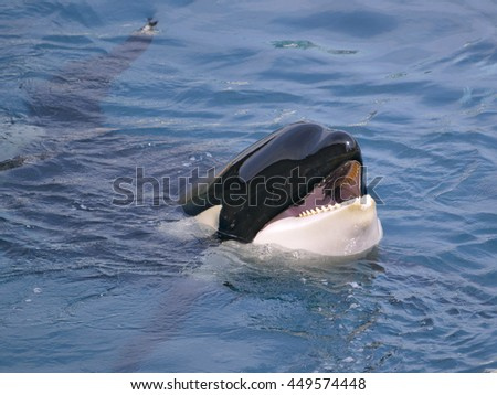 Head of killer whale (Orcinus orca) opening mouth in blue water - stock photo