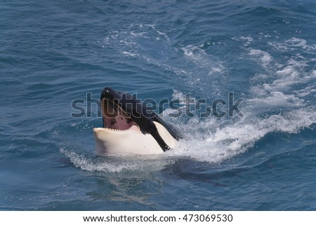 Head of killer whale (Orcinus orca) opening mouth swimming fast in blue water