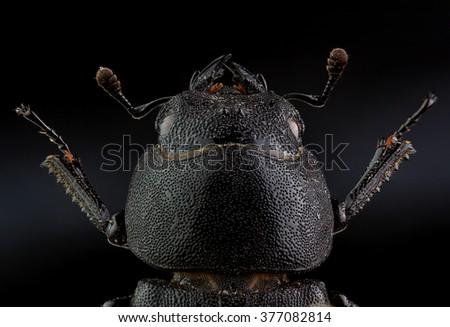 Head of  Lesser stag beetle (Dorcus parallelipipedus). Extreme macro - stock photo