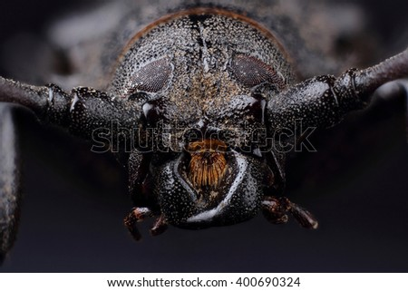 Head of Longhorn beetle (Prionus coriarius). Extreme macro - stock photo