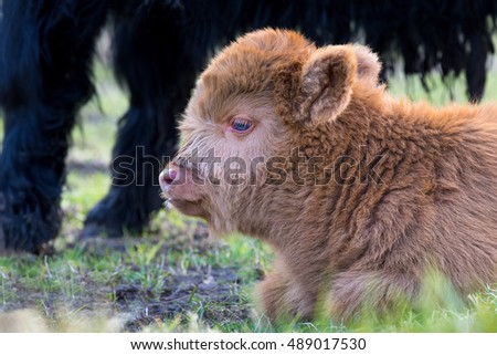 Head of lying Brown newborn scottish highlander calf