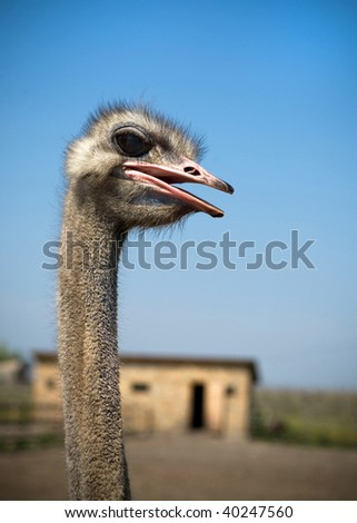 head of ostrich on a background a farm